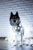 Siberian husky in lights at home lying on the floor. lifestyle with dog. Dark background.  Royalty Free Stock Photos