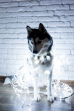 Siberian husky in lights at home lying on the floor. lifestyle with dog. Dark background Stock Image