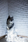 Siberian husky in lights at home lying on the floor. lifestyle with dog. Dark background Stock Photography
