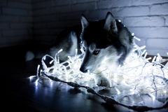 Siberian husky in lights at home lying on the floor. lifestyle with dog. Dark background.  Stock Photography