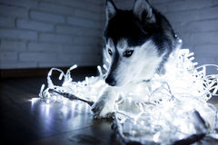 Siberian husky in lights at home lying on the floor. lifestyle with dog. Dark background.  Stock Photos