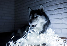 Siberian husky in lights at home lying on the floor. lifestyle with dog. Dark background.  Royalty Free Stock Image