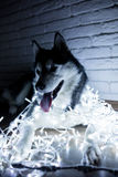 Siberian husky in lights at home lying on the floor. lifestyle with dog. Dark background Stock Images