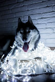 Siberian husky in lights at home lying on the floor. lifestyle with dog. Dark background.  Stock Image