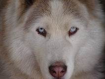 Siberian husky. Looking with blue eyes Royalty Free Stock Images