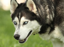 Siberian Husky looking to the side Royalty Free Stock Photo