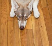 Siberian Husky Looking Up Stock Photo