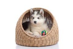 Siberian husky lying in basket bed Stock Image