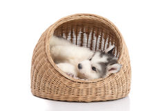 Siberian husky lying in basket bed Royalty Free Stock Photography