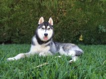 Siberian husky lying Stock Photography