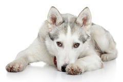 Siberian Husky on white background Stock Photos
