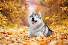 Siberian Husky lying Stock Image
