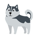 Siberian Husky Medium Size Dog Breed Isolated. Siberian Husky medium size working dog breed isolated on white. Recognizable by thickly furred double coat, erect Royalty Free Stock Photo