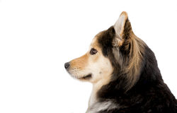 Siberian Husky mix sled dog. Siberian Husky mix alert and waiting to be harnessed to a sled Stock Photography