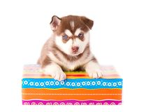 Siberian husky with gift box on white background. Siberian husky with multi-colored gift box on white background stock image