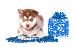 Siberian husky with gift box on white background. Siberian husky with multi-colored gift box on white background stock photography