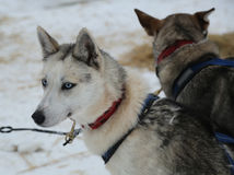 Siberian husky at Musher Camp in Finnish Lapland Stock Photo