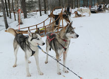 Siberian husky at Musher Camp in Finnish Lapland Stock Photos