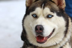 Siberian Husky Muzzle. Siberian Husky with clear blue eyes. Muzzle. Macro Stock Photo