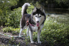 Siberian Husky names Alis stock image
