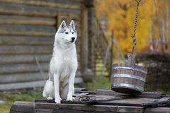 Siberian husky in nature Royalty Free Stock Images