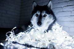 Siberian husky in New Year lights. Lifestyle with dog. Brick wall background.  Royalty Free Stock Photography