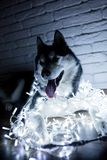 Siberian husky in New Year lights. Lifestyle with dog. Brick wall background.  Stock Photography