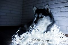 Siberian husky in New Year lights. Lifestyle with dog. Brick wall background.  Stock Images