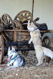 Siberian Husky and old cart Royalty Free Stock Photography