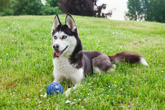 Siberian husky outdoor Royalty Free Stock Image