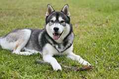 Siberian Husky Outside Royalty Free Stock Images