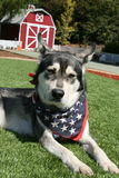 Siberian Husky with Patriotic Scarf and Barn in Background Royalty Free Stock Images