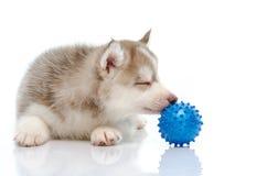 Siberian husky playing with a ball Stock Photos