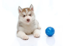 Siberian husky playing with a ball Stock Images