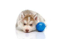 Siberian husky playing with a ball Royalty Free Stock Photos