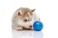 Siberian husky playing with a ball Stock Image