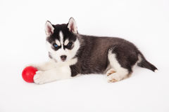 Siberian husky playing with a ball. Royalty Free Stock Photography