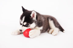 Siberian husky playing with a ball. Royalty Free Stock Image