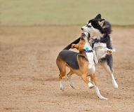 Siberian Husky playing / fighting at a park. Siberian Husky play fighting with a beagle mix while running in the park Royalty Free Stock Photo
