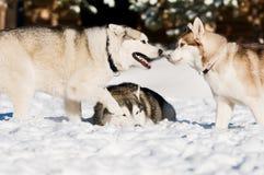 Siberian husky playing at winter Royalty Free Stock Image