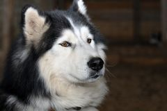 Siberian Husky Portrait Stock Photography
