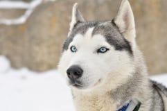 Siberian husky portrait Stock Photography