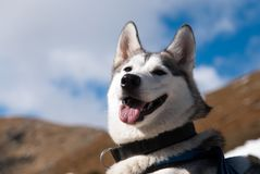 Siberian husky portrait Stock Photo