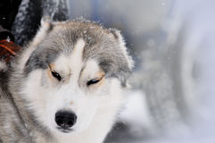 Siberian husky portrait close-up against the background of a sno Stock Photos