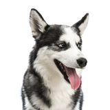 Siberian husky. Portrait close-up studio shoot. isolated on white background Royalty Free Stock Photography