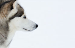 Siberian Husky. Stock Photo