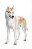 Siberian Husky. Portrait of a Siberian Husky on a white background Stock Image