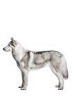 Siberian Husky. Portrait of a Siberian Husky on a white background Royalty Free Stock Photos