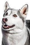 Siberian Husky. Portrait of a Siberian Husky on a white background Stock Photography