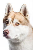 Siberian Husky. Portrait of a Siberian Husky on a white background Stock Images